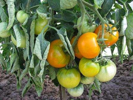Хурма — это детерминантный сорт томатов, который в ОГ возвышается на 60-70 см над землей, а в теплице обычно имеет высоту больше метра.