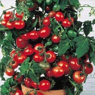 Миниатюрный сорт от голландских селекционеров, который можно выращивать как летом, так и зимой.