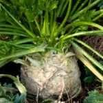 Тонкости выращивания сельдерея корневого в открытом грунте