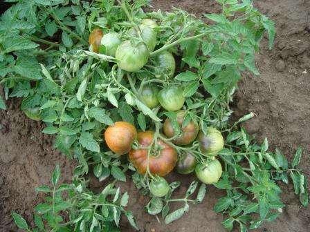 Растение детерминантного типа, то есть в него генетически заложена остановка роста. Наращивание длины гласного стебля прекращается, когда он достигает 50-60 см.