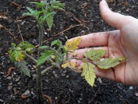 Например, вы можете заметить, как меняют цвет нижние листья на молодых, недавно высаженных в теплицу растениях. Обычно это происходит из-за частичного повреждения корней, которое в процессе данного мероприятия практически неизбежно.
