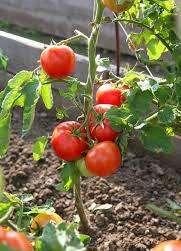 Ввиду этого практичным окажется решение искусственно снизить потенциальную урожайность куста, чтобы снизить нагрузку на растение.