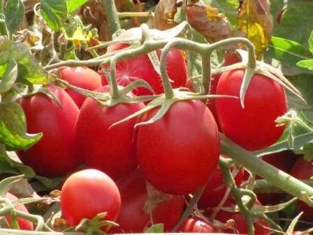 Итак, эту страницу нашего сайта для фермеров мы посвятили теме: «Голландские семена томатов для открытого грунта». У вас есть возможность ознакомиться с самыми популярными сортами среди фермеров и дачников нашей страны.
