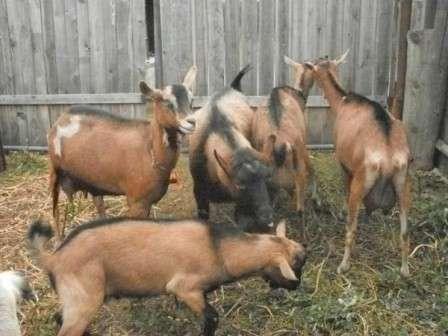 Чешская порода коз, описание которых поможет фермеру заняться своим собственным делом.
