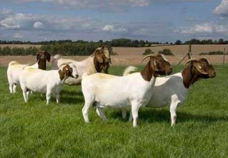 Опытные фермеры ценят коз бурской породы за высокую производительность мяса, причем именно самцы отвечают за это качество, поэтому даже смешение маленькой самки и крупного самца ведет за собой получение крупных козлят
