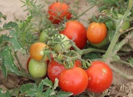 Сорт Грунтовый Грибовский раннеспелый. Возможность сорвать первый красный помидор с куста у вас появится уже через 95-105 дней.
