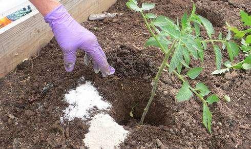 А лучше всего позаботиться об этом заранее, удобрив землю в теплице органическим удобрением или засадив сидератами.