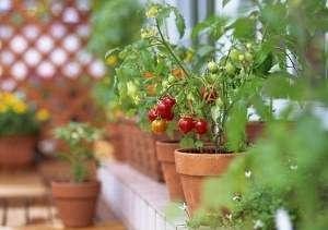 Если вы хотите стать гордым наблюдателем восхищения на лицах ваших друзей, прежде всего вам следует найти ответ на такой вопрос: какие помидоры можно выращивать на подоконнике зимой?
