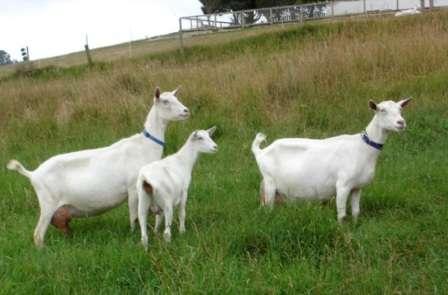 Начинающим животноводам, которые стремятся разводить коз, для получения молока, можно порекомендовать приобрести коз Зааненской породы, которые обязательно порадуют своих хозяев не слишком сложным уходом и высокими удоями молока.  Смотрите также видео: