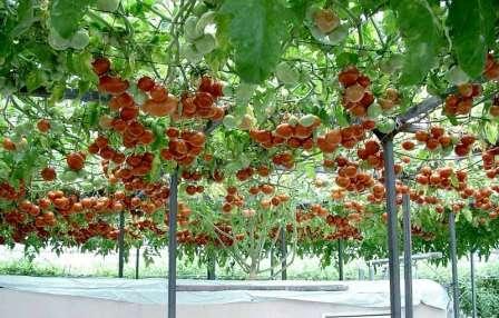 Стойкость к болезням — объясняется тем, что листья хорошо вентилируются и освещаются лучами солнца, а также не соприкасаются с землей.