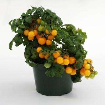 Сорт, появившийся не так давно. Куст штамбовый, 25 см в высоту с плодами по 30 г.