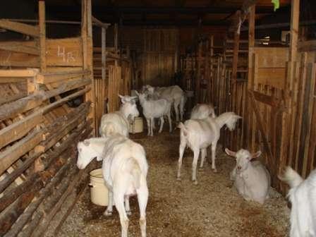 Дойные козы должны обязательно содержаться в стойлах, отделенных друг от друга, не более чем по две козы в стойле.