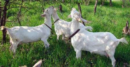 Отсутствие специфического козьего запаха от молока Зааненской породы.