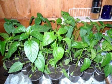Садоводы не рекомендуют затягивать с высадкой рассады перца.
