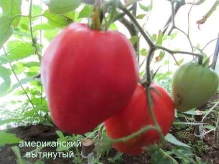 Любимый многими сорт для высокой теплицы: плоды красивой сердцевидной формы и с вкуснейшей мякотью.