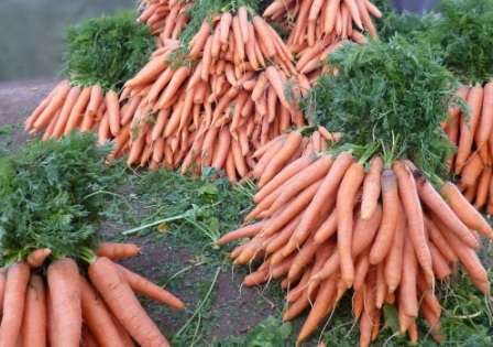 Сделать запас моркови на всю зиму позволяют средне и поздние сорта.