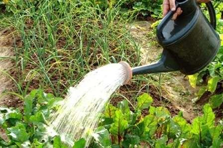 Некоторые огородники предпочитают поливать свеклу солевым раствором дважды: в начале лета и в конце.