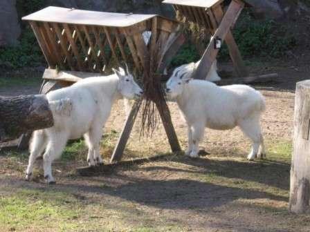 орно-алтайская порода. Обладает крепкой конституцией, и они хорошо адаптированы к разведению на горных пастбищах в любое время года. Козы имеют немаленькую мясную массу и быстро ее нагуливают. Средний вес козы –