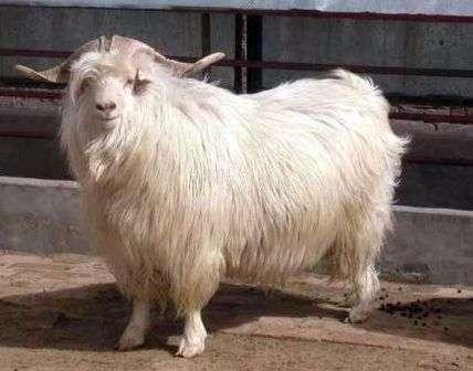 Тема этой статьи - породы пуховых коз с фото и описанием. Из нее вы узнаете, как вырастить этих животных на своей ферме, что они любят, и какие условия им больше всего подходят.