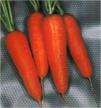 Морковь семена лучшие сорта отзывы