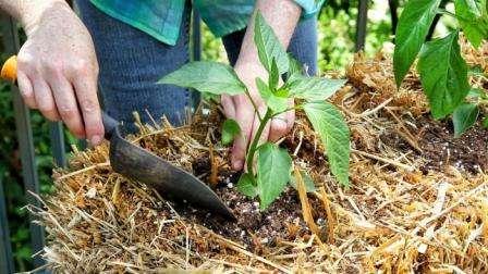 Если грунт достаточно питателен, то просто полейте лунку и опустите в нее корень перца.