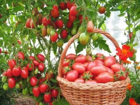 Очень известный томат с небольшими сливовидными плодами (до 40 г), которые собраны в огромные кисти — по 50 штук.
