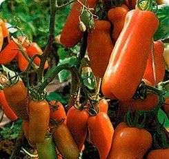 Высокоурожайный томат со средним сроком созревания.