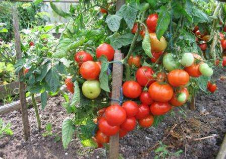 Что означает детерминантный сорт помидоров