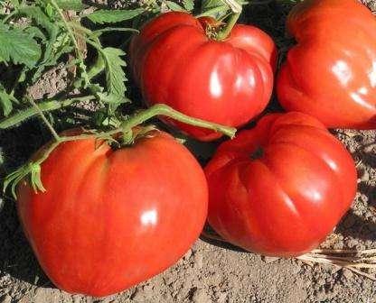 Имеет большие (по 500 г) сердцевидные плоды неправильной формы, причем на одном кусте формируются плоды разных размеров.