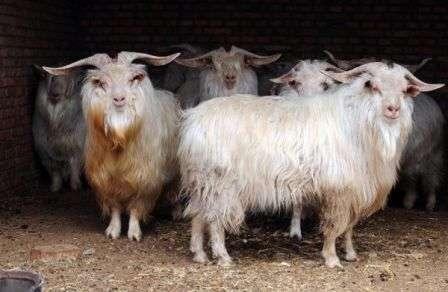 Лакомство, которое козы особенно любят – чеснок. Отрицательным качеством греческой козы является то, что животные объедают кору с деревьев, съедают и вытаптывают молодые побеги.
