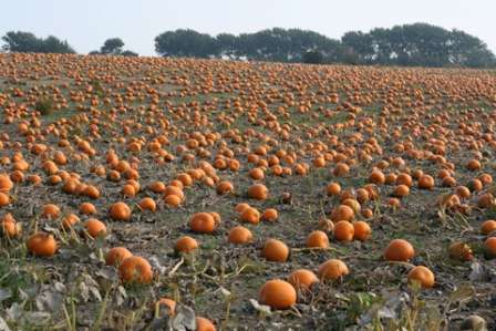 Для тыквы важна питательность почвы, все остальные характеристики в выращивании овоща не играют большой роли.