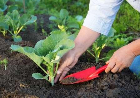 Грядки под капусту необходимо разбивать на хорошо обогреваемом солнцем участке.