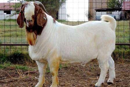 В этой статье мы рассмотри мясные породы коз с фото и описанием. Эта информация поможет фермеру определиться с выбором животного для разведения.