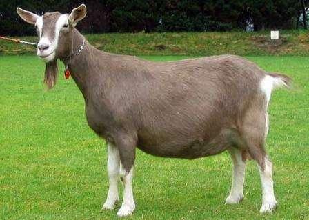 Тоггенбургская порода коз, фото и описание которой приводится в этой статье, - отлично подходит для занятия фермерством. В чем ее преимущества?