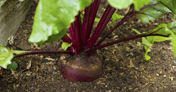 Ранняя свекла морозоустойчива и ее выращивают преимущественно для приема в пищу
