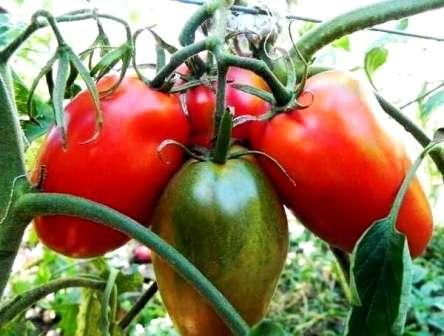 Высокоурожайный сорт, плоды которого весят по 300 г.