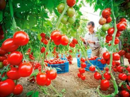 Особенного внимания достойно описание способа формирования куста томата.