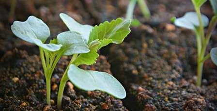 Итак, несложно вычислить — чтобы перенести капусту в открытый грунт во второй половине мая, когда полностью отступят заморозки, сеять семена на рассаду следует во второй половине марта.