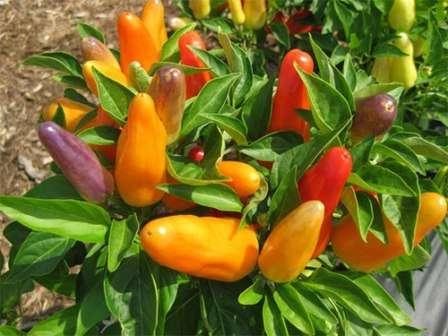 Рассмотрим лучшие сорта сладкого перца, которые нашли большое количество поклонников среди земледельцев.