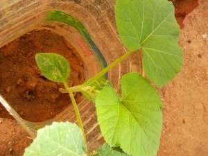 Хорошее освещение, умеренный полив и рыхление почвы — это обязательные мероприятия по уходу за рассадой тыквы.