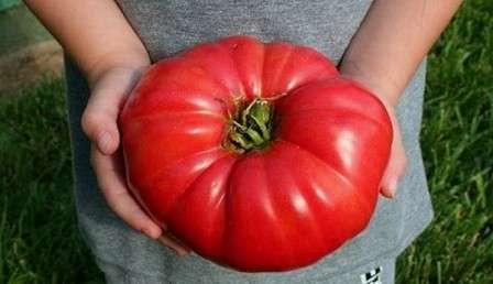 Супер урожайный сорт для теплиц.