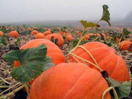 Вот почему выращивание тыквы в открытом грунте так популярно среди фермеров и огородников.