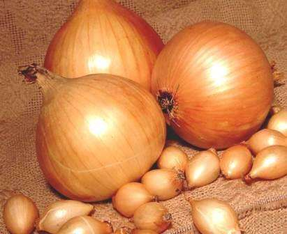 Размещенная в этой статье информация про лук Сеттон — описание сорта, отзывы — поможет вам понять, почему он стал так популярен среди земледельцев.