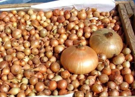 Приобретя лук севок сорта Штутгартер Ризен, вы получите высококачественный посевной материал, выращенный в Голландии и прошедший тщательный отбор.