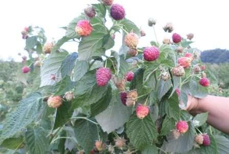 Многие садоводы практикуют мульчирование почвы после посадки малины, применяя торф, перегной или навоз (слой 5 см).
