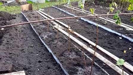 Саженцы малины обычно сажают одним из двух популярных методов: 1) траншейный, 2) кустарный.