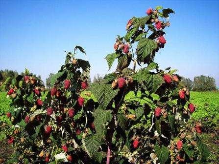 На урожайность малины также влияет состав грунта — он должен быть легким, некислым и это не должен быть заболоченный, хорошо удобренный участок.