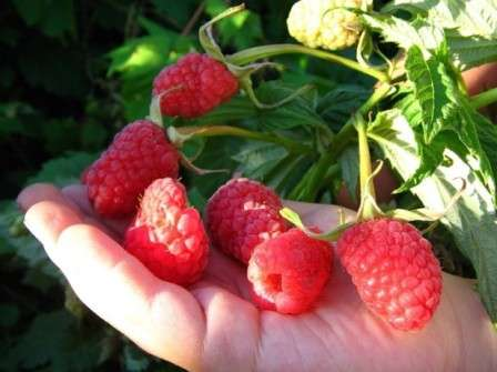 О чем нельзя забывать, чтобы получить обилие таких же красивых ягод, как на фото?