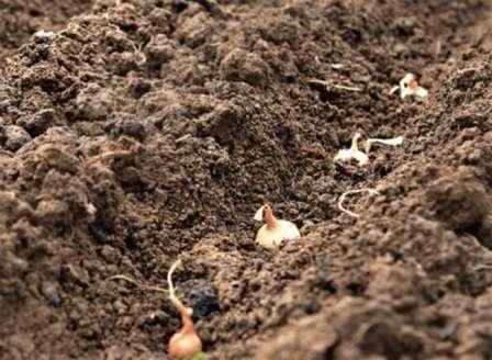 Осенью обычно сажают самый мелкий лук севок (до 1 см), который до весны попросту не доживет.