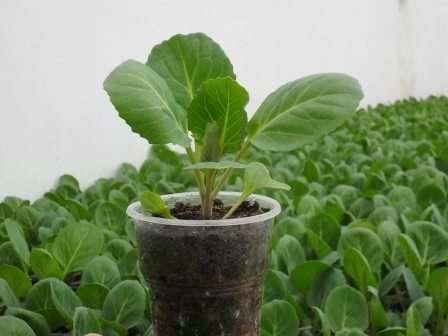 Вырастить хорошую рассаду капусты лучше всего получится в теплице или парнике, где более реально создать для нее подходящие условия.